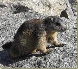 In valgrande fauna marmotta for Mammiferi che vivono in acqua